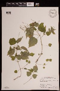 Image of Circaea alpina