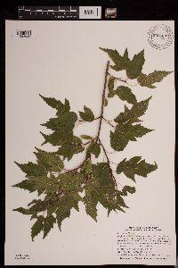 Image of Acer ginnala