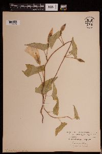 Image of Calystegia sepium