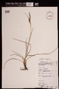 Carex flacca image