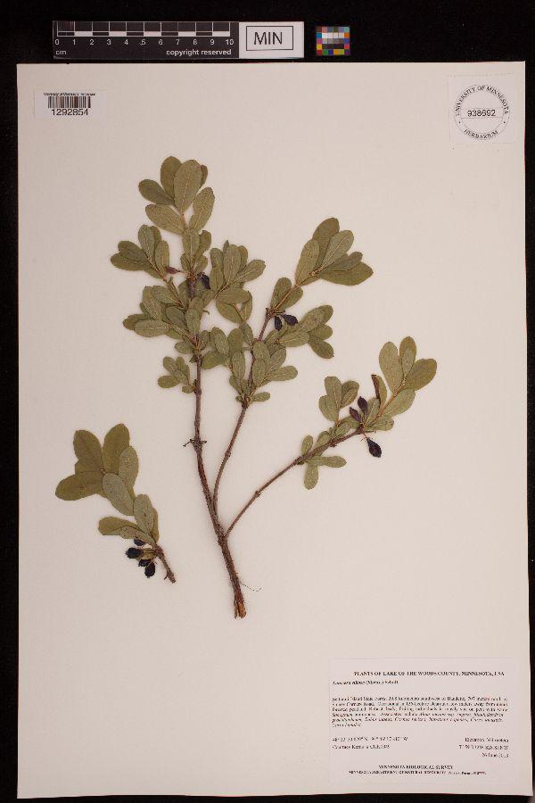 Lonicera caerulea var. edulis image