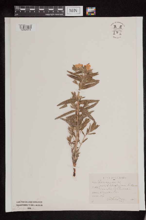 Lithospermum image