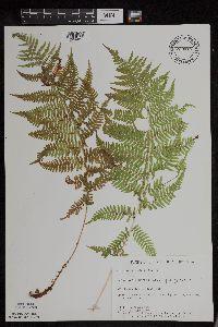 Athyrium filix-femina var. angustum image