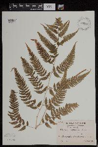 Image of Athyrium niponicum
