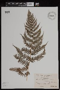 Image of Athyrium yokoscense