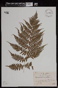 Image of Athyrium vidalii
