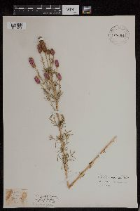 Image of Dalea villosa