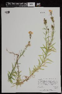 Image of Linaria vulgaris