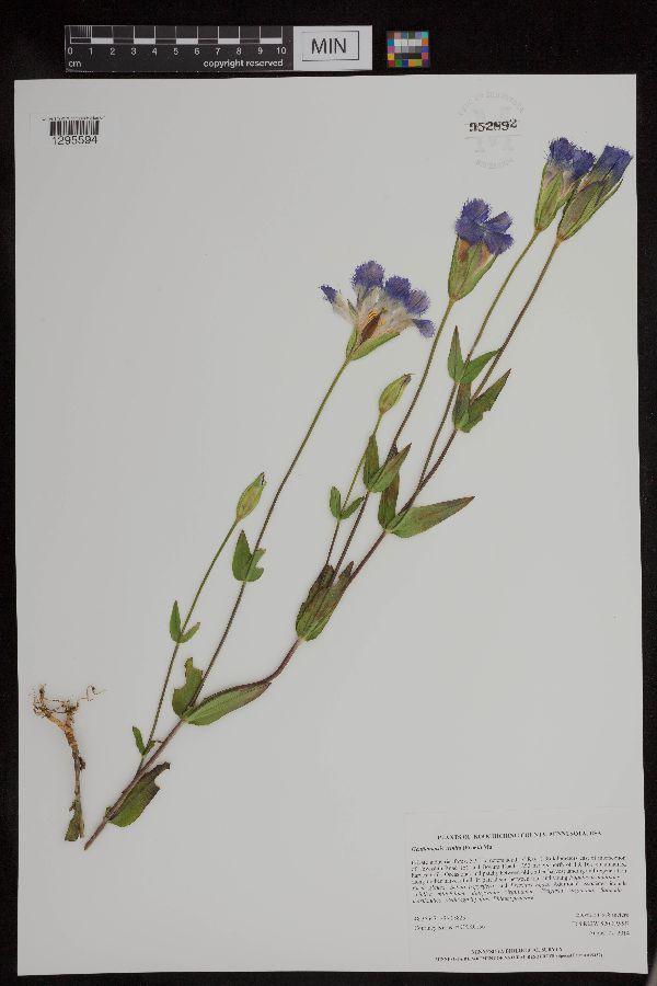 Gentianopsis image