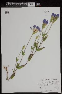Image of Gentianopsis crinita
