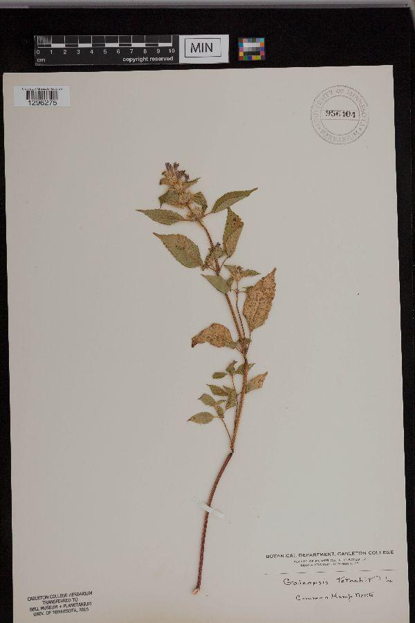 Galeopsis image