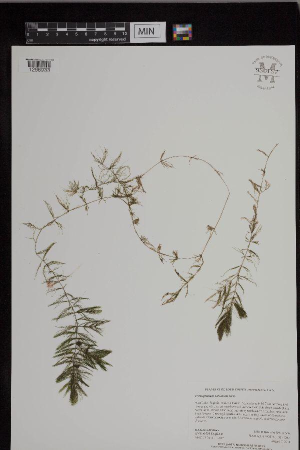 Ceratophyllum image