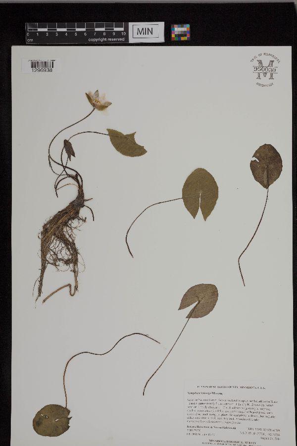 Nymphaea image