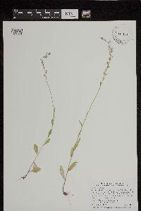 Image of Lobelia spicata