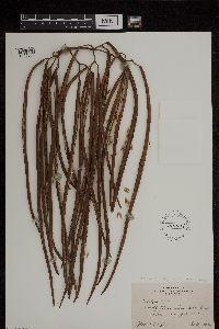 Image of Catalpa speciosa