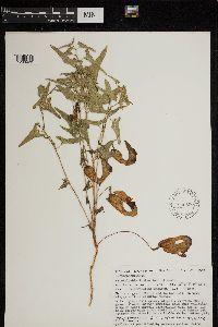 Image of Aristolochia bottae