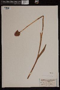 Anacamptis pyramidalis image
