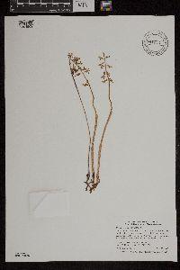 Image of Corallorhiza trifida