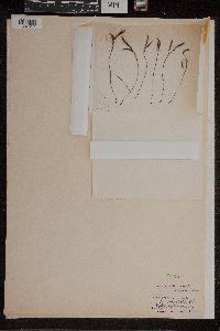 Asplenium septentrionale image
