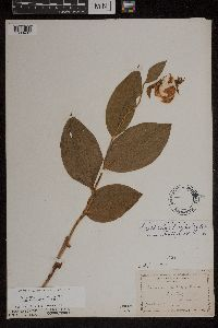 Cypripedium parviflorum image