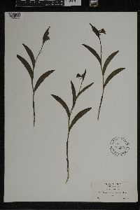 Cypripedium arietinum image