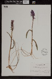 Dactylorhiza traunsteineri image