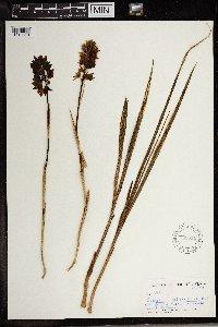 Image of Eulophia foliosa