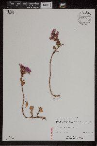 Phedimus spurius image