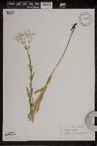 Euphorbia corollata image