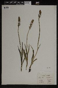 Gymnadenia odoratissima image