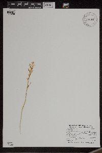 Liparis loeselii image