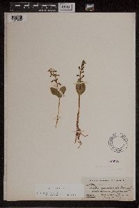 Listera borealis image
