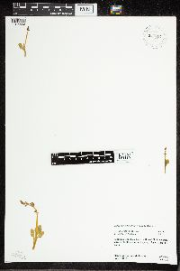 Botrychium simplex image