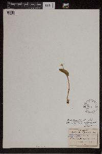 Malaxis corymbosa image