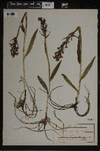 Dactylorhiza iberica image