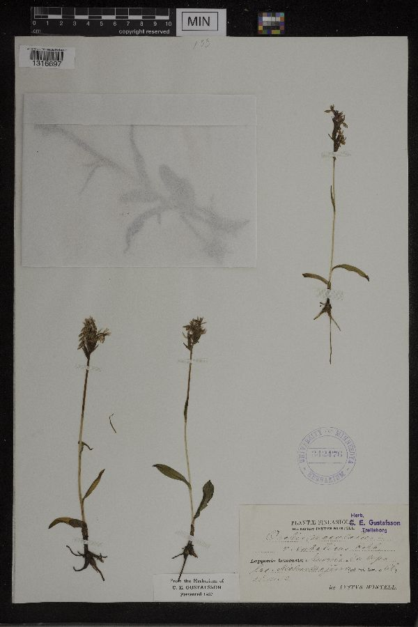 Dactylorhiza image