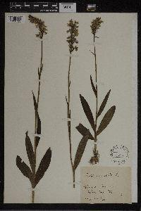 Dactylorhiza maculata image