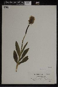 Orchis simia image