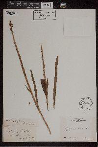 Piperia elegans image