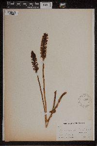 Image of Platanthera michaelii