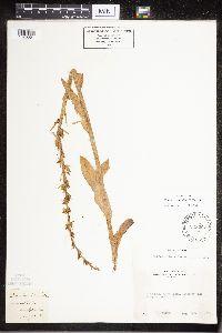 Platanthera sparsiflora image