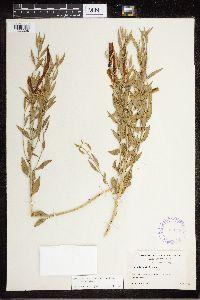Amsonia tomentosa image