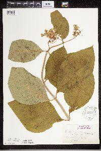 Asclepias exaltata image