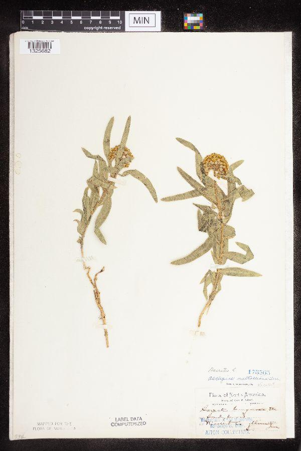 Asclepias lanuginosa image