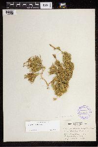 Lycopodium complanatum image
