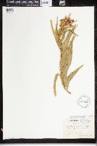 Asclepias asperula subsp. capricornu image