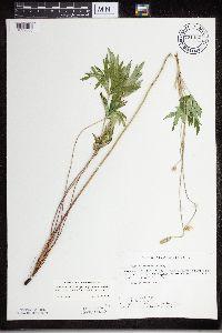 Image of Anemone cylindrica