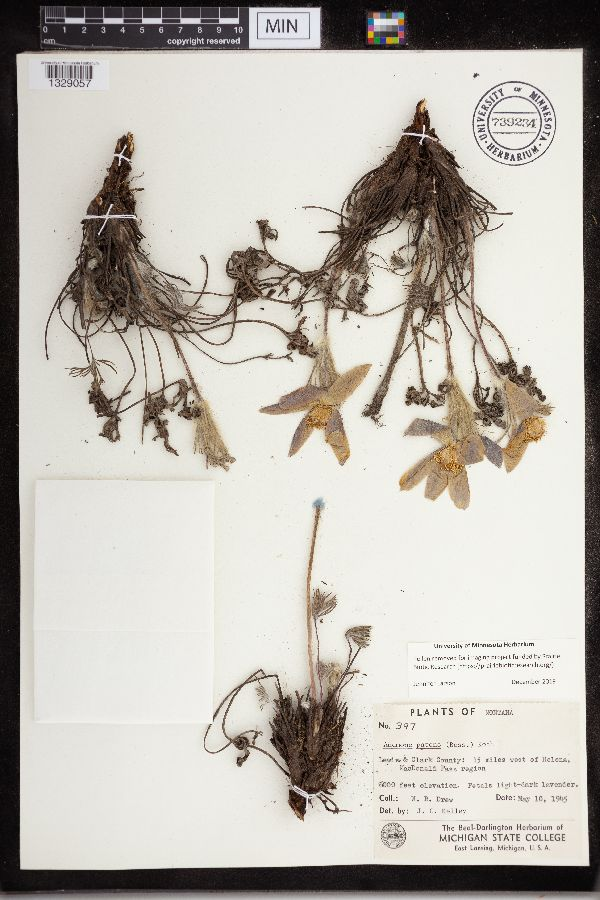Anemone patens image