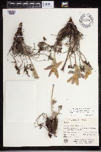 Image of Anemone patens