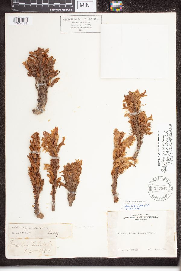 Orobanche vallicola image